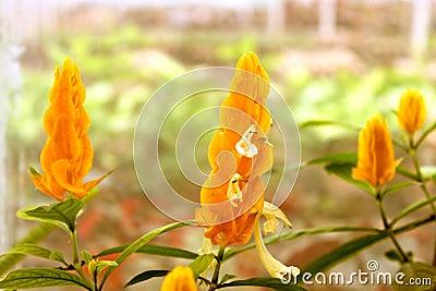 Yellow shrimp plant
