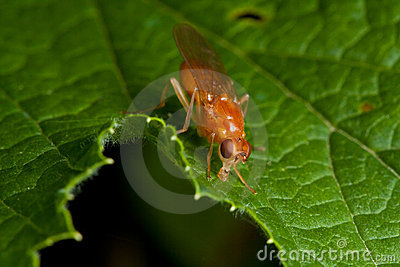 Orange fly on green leaf
