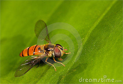 Orange fly on leaf