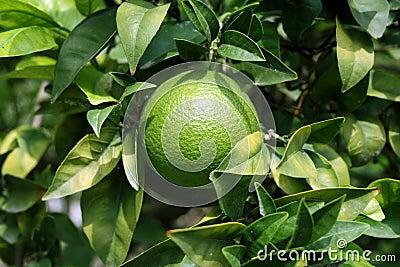 Orange fruit and orange tree leaves