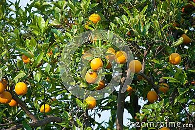 Orange fruit tree with oranges