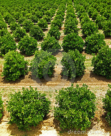 Free Orange Fruit Tree Orchard Stock Images - 14314964