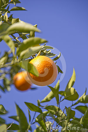 Orange fruits on the tree