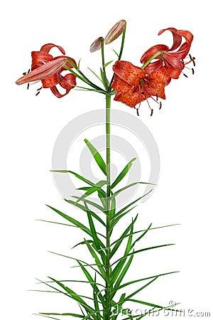 Orange garden lily