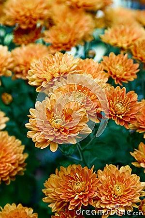 Orange Garden Mums