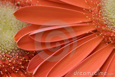 Orange Gerber Daisies Royalty Free Stock Images - Image: 2174599