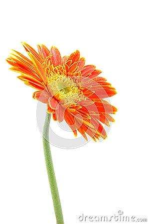 Free Orange Gerber Daisy Stock Photography - 891962