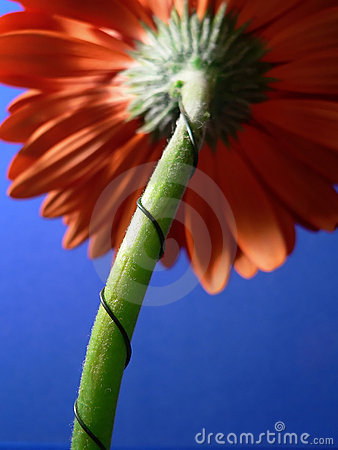 Orange gerber daisy and stem from behind