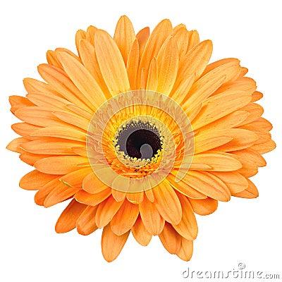 Free Orange Gerber Flower Isolated On White Stock Photo - 29536790