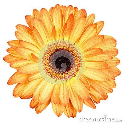 Free Orange Gerber Flower Isolated On White Stock Image - 30750961