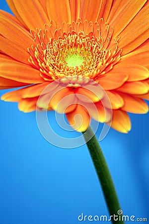 Free Orange Gerbera Stock Image - 71351