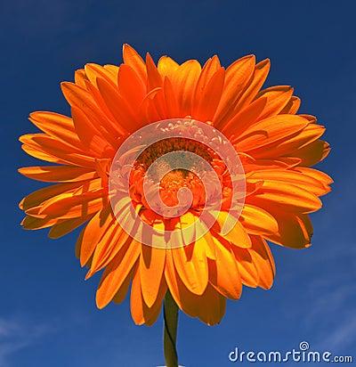 Orange gerbera on blue sky