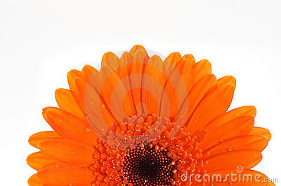 Orange gerbera flower macro