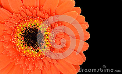 Orange Gerbera Flower Part Isolated on Black