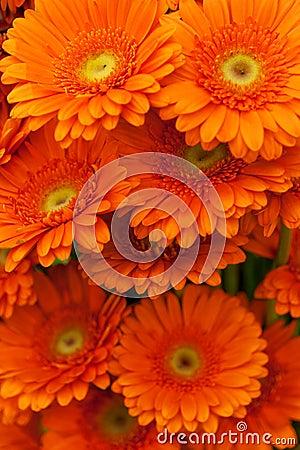 Free Orange Gerbera Flowers Stock Photography - 19444072