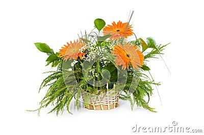 Orange gerberas isolated