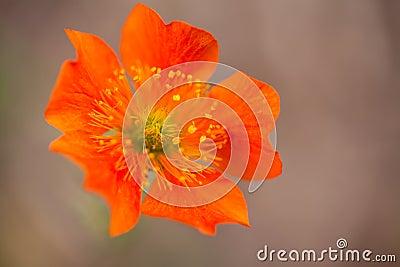 Orange Geum Flower Earthy Background