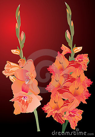 Orange gladiolus flowers on dark background