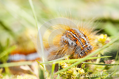 Orange hairy caterpillar