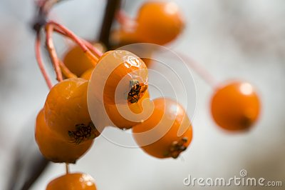 Orange hawthorn berries