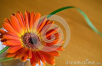 Orange herbera in a vase