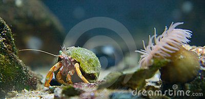 Orange hermit crab