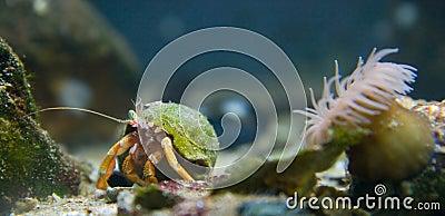 Orange hermit crab