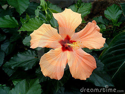 Orange Hibiscus 2