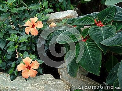 Orange Hibiscus 3