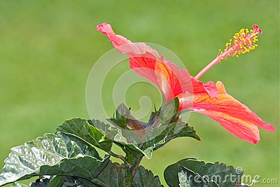 Orange Hibiscus Flower Blossom