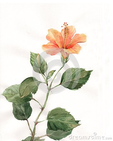 Orange hibiscus flower watercolor painting
