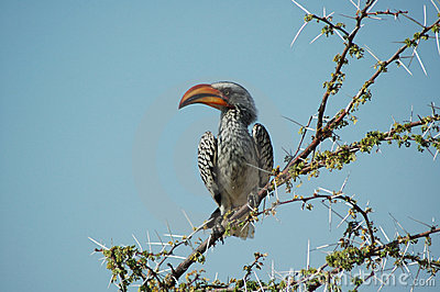Orange hornbill #2