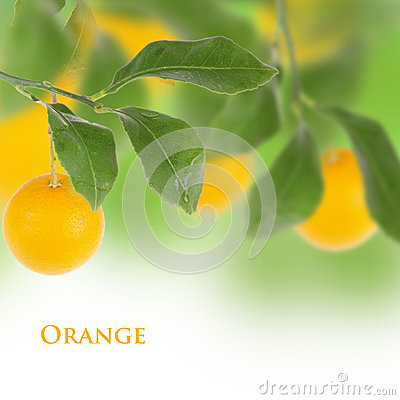 Orange isolated tree