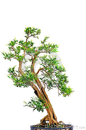 Orange jasmine bonsai