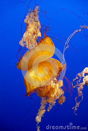 Orange jellyfish in an aquarium