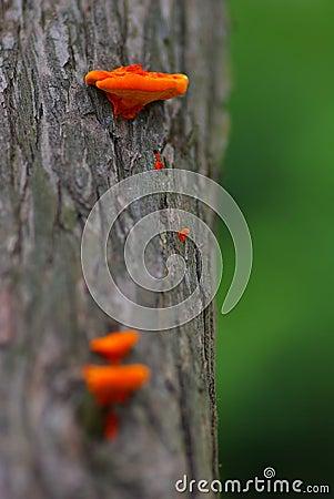 Orange Jew s Ear