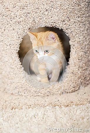 Orange kitten in cat tree