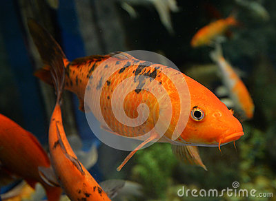 Orange koi carp stock photo image 65002441 for Blue and orange koi fish