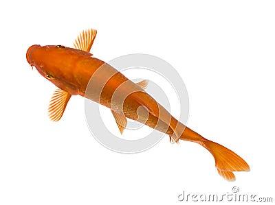 Orange koi cyprinus carpio stock photo image 9773680 for Orange koi fish