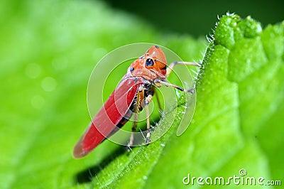 An orange leafhopper