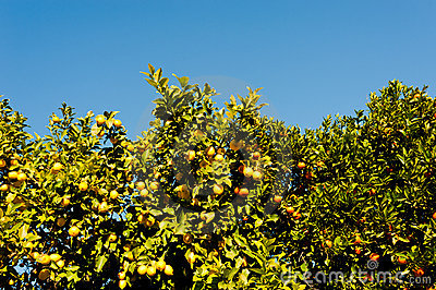 Orange and lemon tree