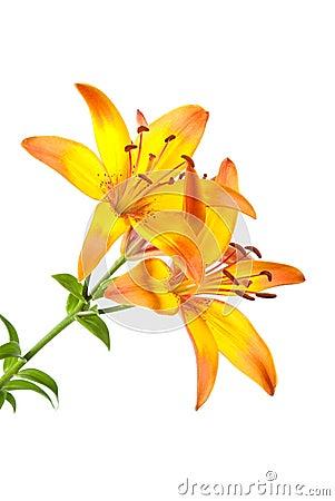 Orange Lilie auf Weiß