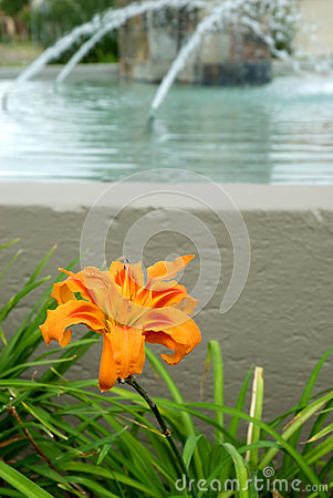 Orange Lilium amabile flower