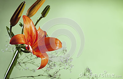 Orange lilly