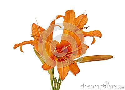 Orange lily isolated