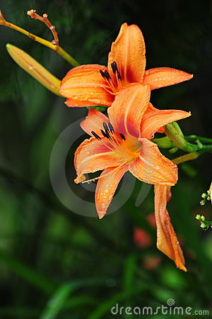 Orange Lily Lilium