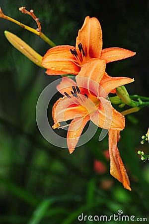 Orange Lily Lilium