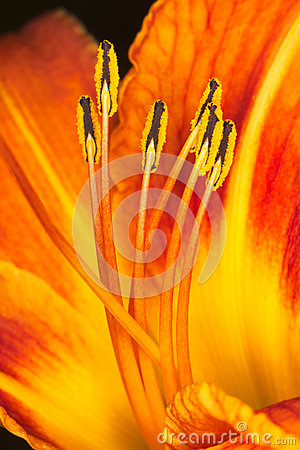 Orange lily stamens with pollen macro