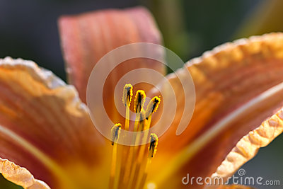 Orange Lily with yellow pollen
