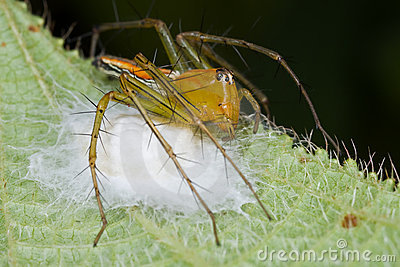 Orange lynx on her nest